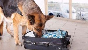 El envío de un perro en avión