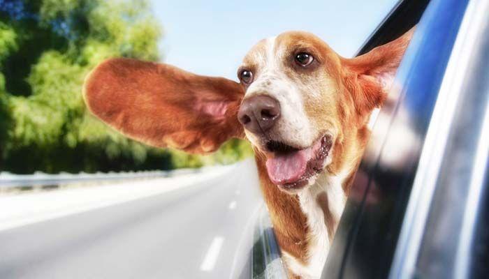 El envío de un perro en coche