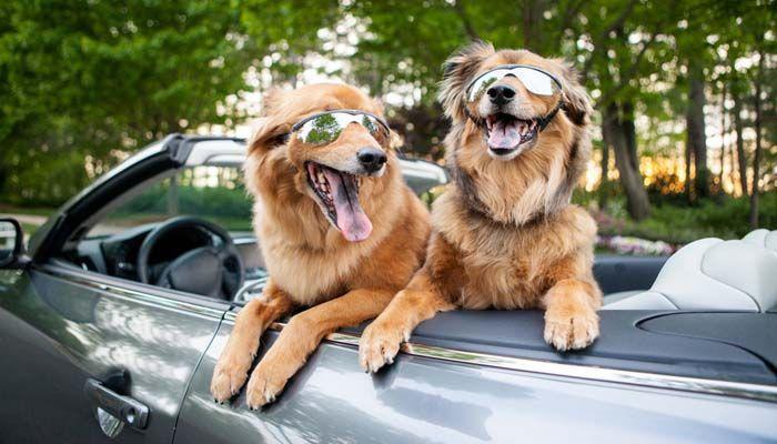 El envío de un perro a través de transporte terrestre