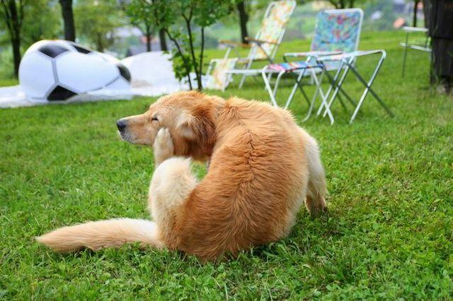 Las señales de que su perro puede tener alergias