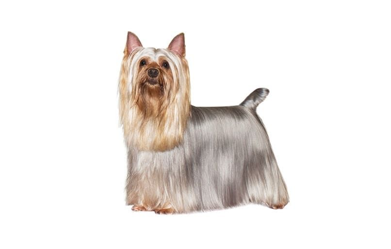 Terrier sedoso