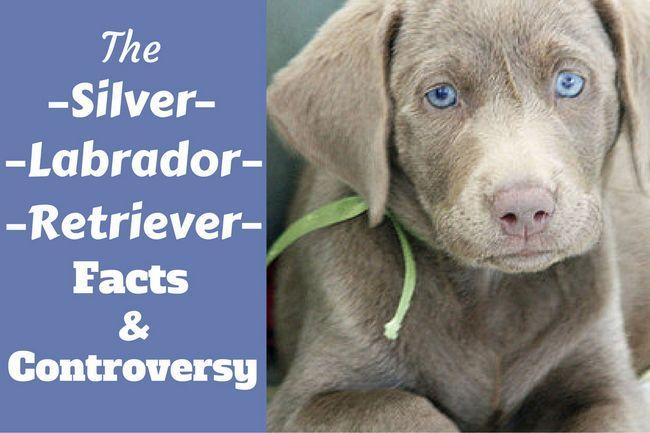 Labrador retriever hechos de plata y controversia