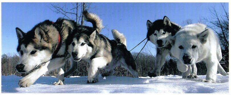 Los perros con la carga
