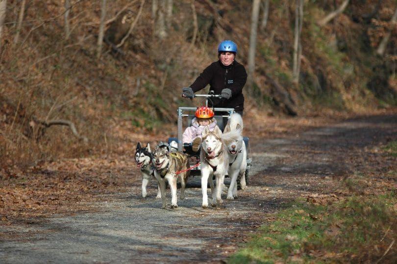 la formación de jóvenes perros de trineo