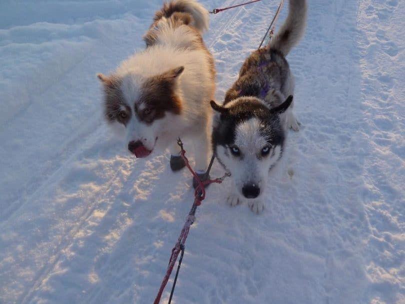 huksy de Siberia a la derecha