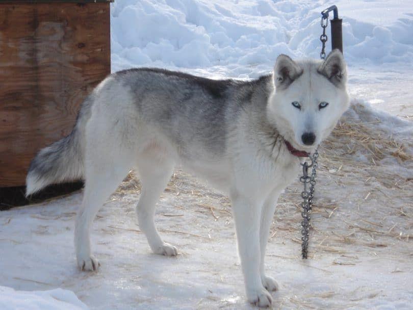 El perro de trineo Seppala Siberian