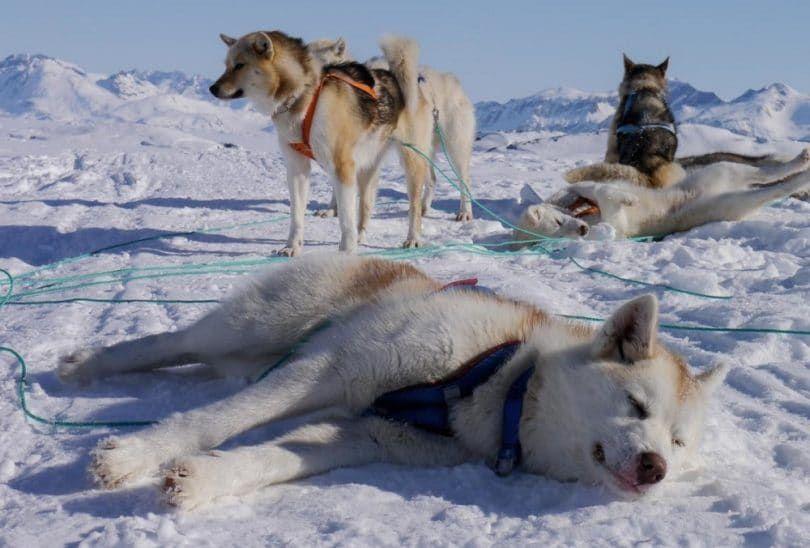 Groenlandia expedición en trineo de perros