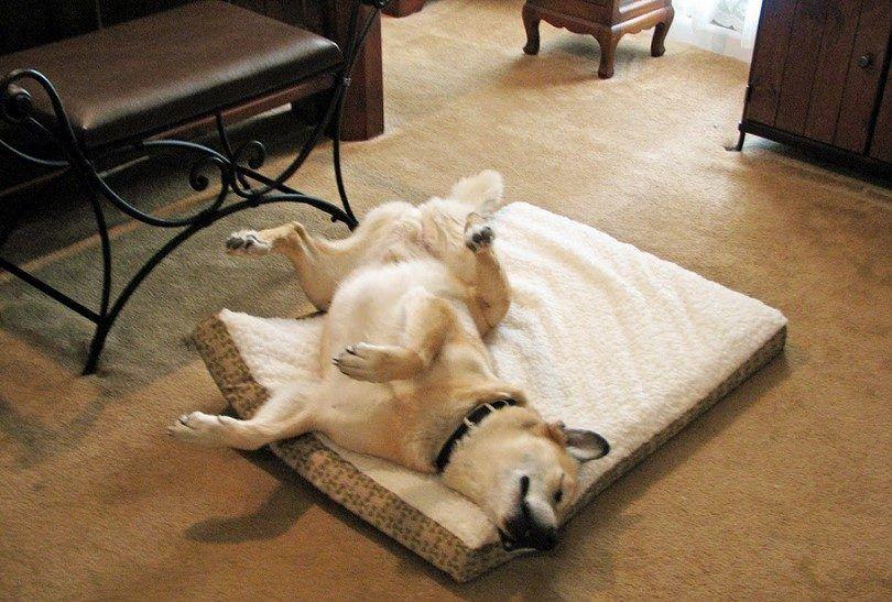 Perro que se ejecuta en el sueño