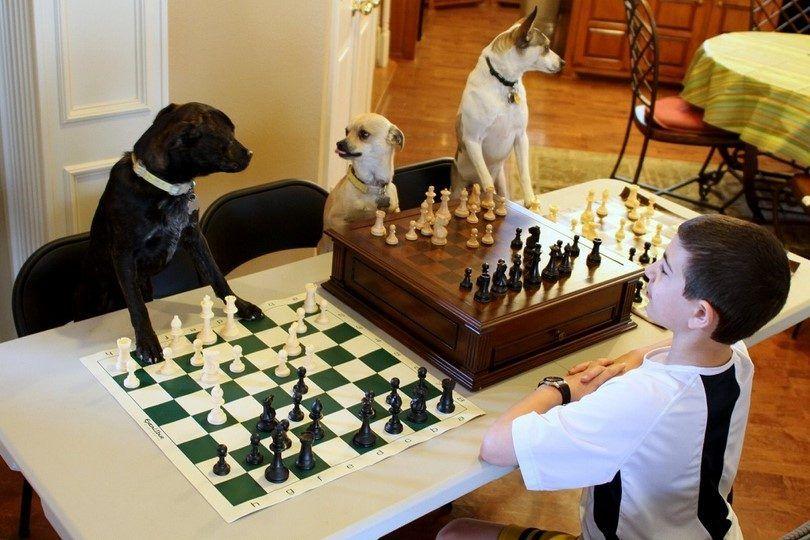 Perros que juegan al ajedrez