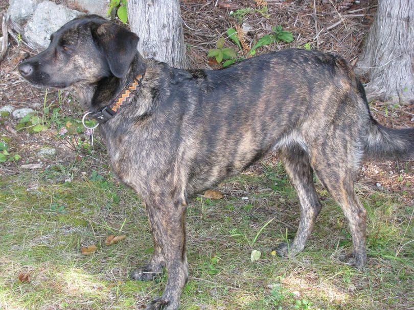 Coonhound del Cur