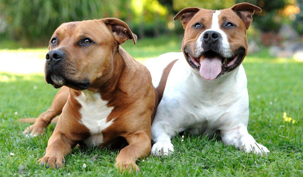 Perfil Staffordshire Bull Terrier