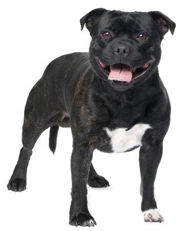 Perfil Raza American Staffordshire Terrier