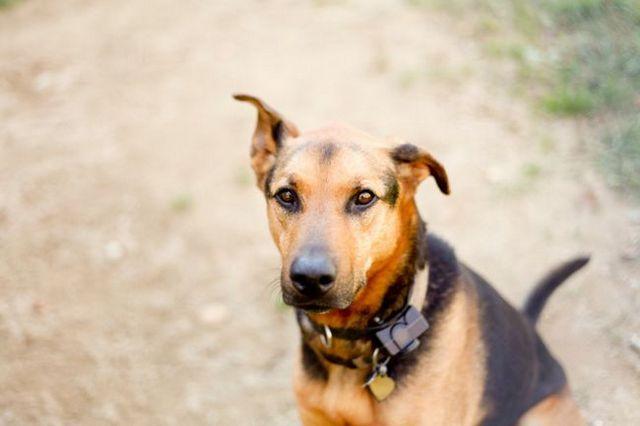 Un estudio muestra que los collares de choque `` un riesgo para el bienestar del comportamiento del perro
