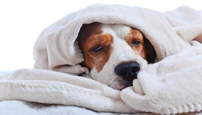 La verdad sobre la Gripe perro