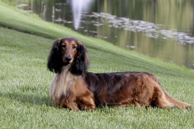 El perro Dachshund