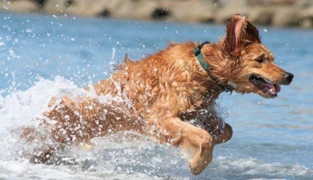 Cosas de la natación: cómo eliminar el agua en los oídos de los perros