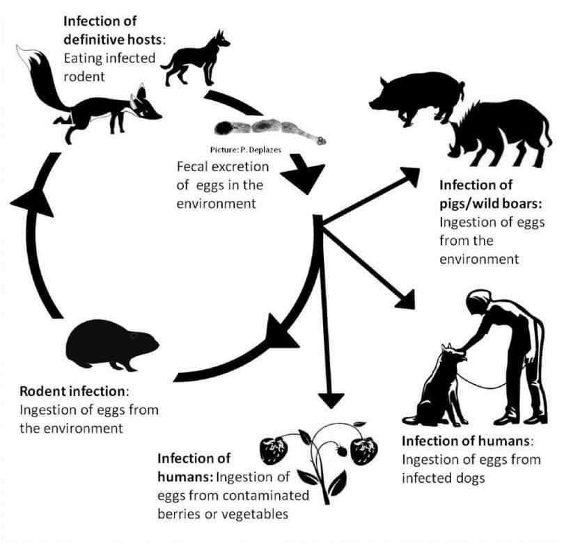 Echinococcus multilocularis infografía