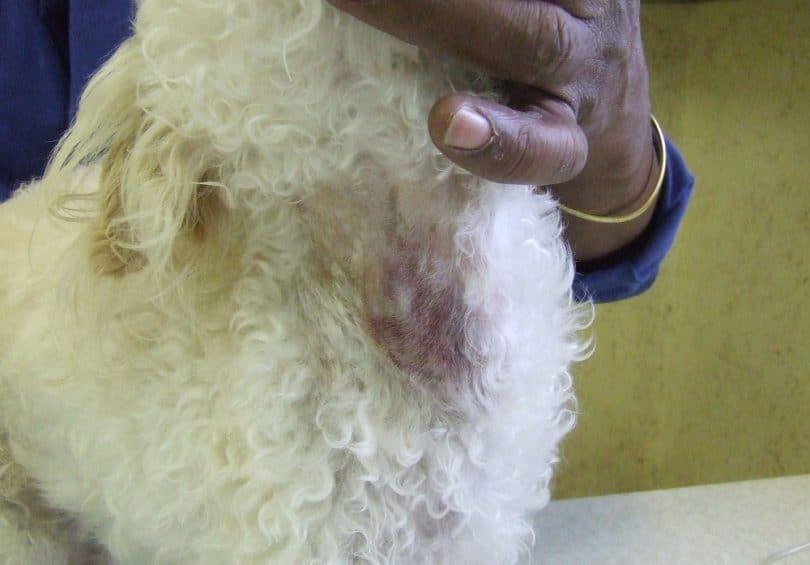 Perro con la enfermedad de Cushing
