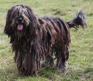 Las 10 razas de perros más inusuales