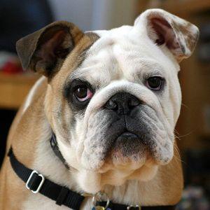 Las 5 razas de perros más caros
