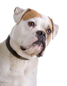 El bulldog americano impresionante