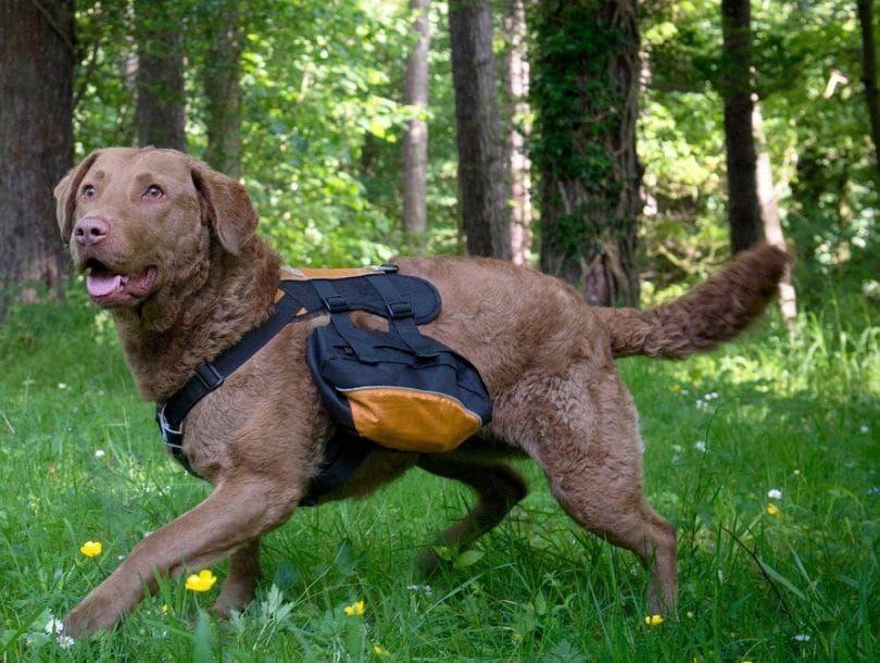 Kurgo Wander mochila perro