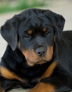 Los mejores nombres de perro alemán