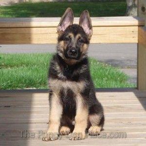 El perro pastor alemán