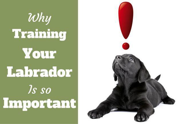 Importancia de la formación de Labrador: cachorro de laboratorio Negro mira a un signo de exclamación rojo