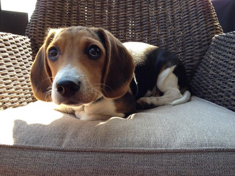 El perro beagle