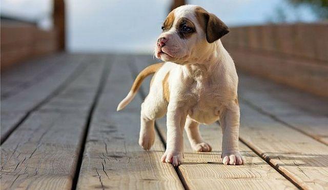 El pitbull bolsillo: un buen perro en un pequeño paquete
