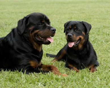 El rottweiler - leal y cariñosa