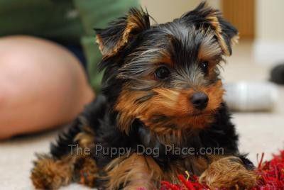 El terrier yorkshire