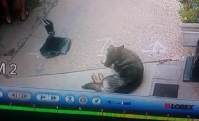 Los ladrones busto ventanilla de la camioneta para robar la computadora portátil, sin darse cuenta save perro encerrado en el interior