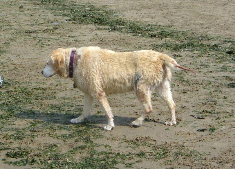 Los signos de hipertiroidismo en perros