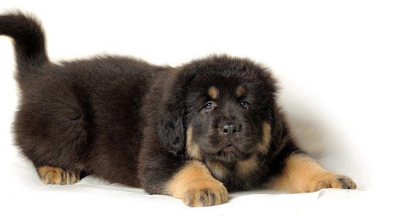 cachorro de dogo del Tibet