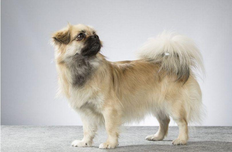Perro de aguas tibetano