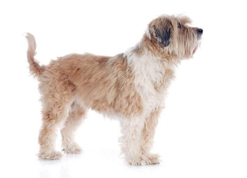 raza de perro Terrier tibetano