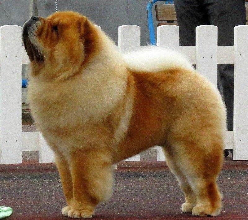 gurading perro chino
