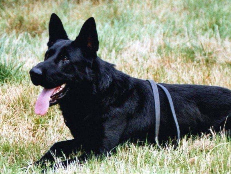 Perro guardián negro