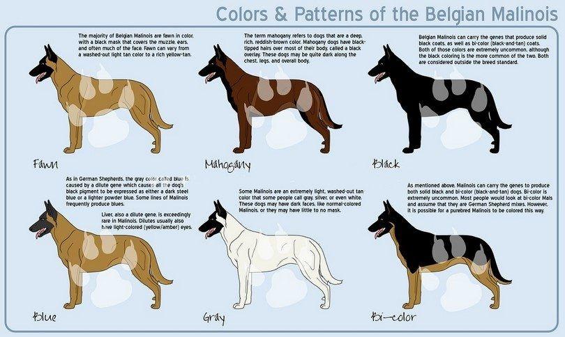colores malinois belgas
