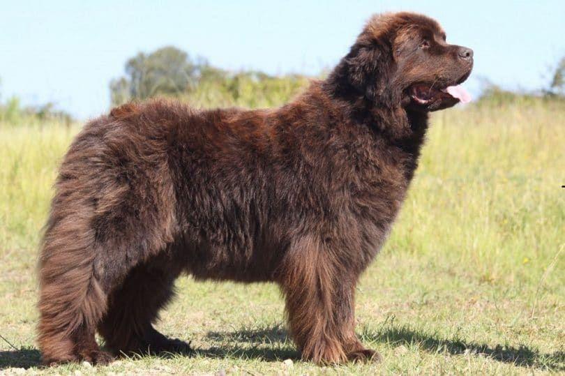 perro de Terranova
