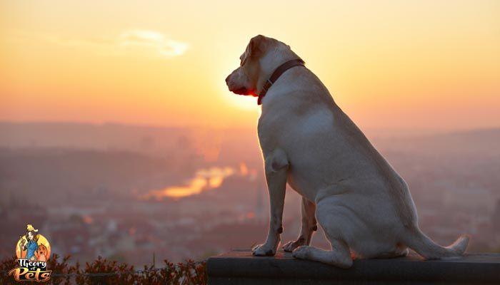 Tratamiento de la osteoartritis canina y T-Cyte
