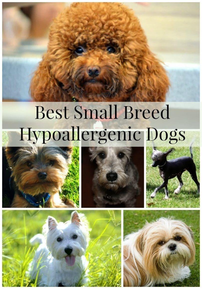 Los mejores perros de raza pequeña hipoalergénicos