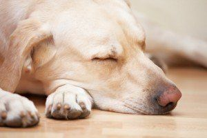 Enfermedades del perro trágicos puede ser difícil de diagnosticar
