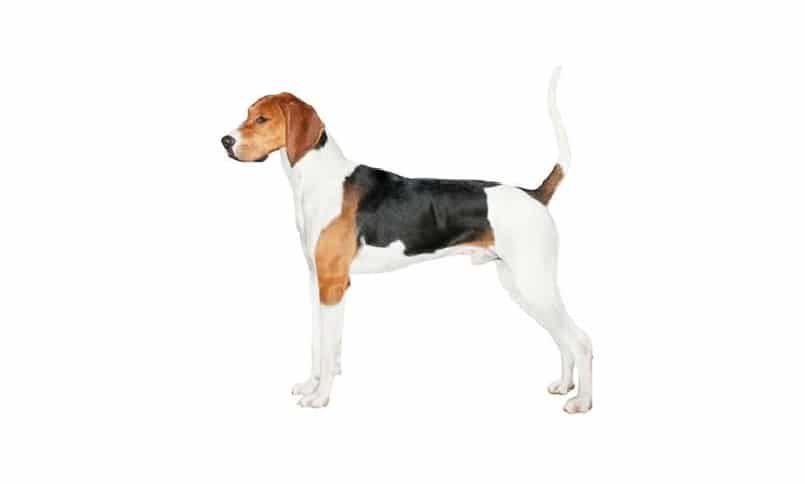 Coonhound del caminante