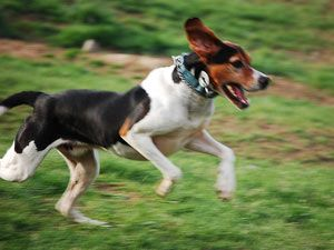 Coonhound treeing del caminante