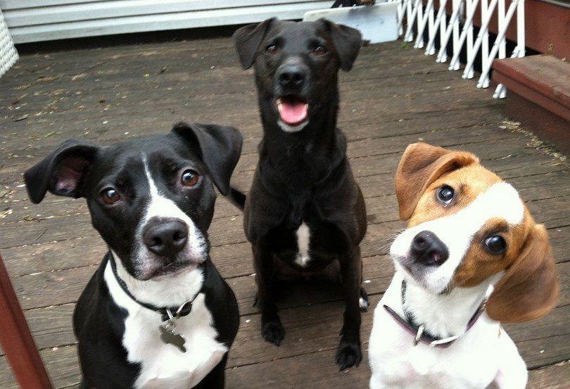 perros que escuchan