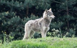 Di mi hermana Un lobo-perro híbrido