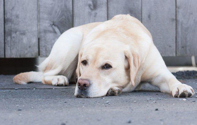 Los tumores en los perros: los tumores caninos más comunes